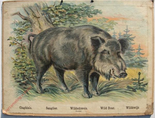 754 - Conghiale, Sanglier, Wildschwein, Wild Board, Wildzwijn